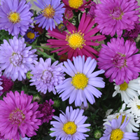 aster_blooms