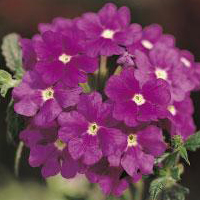 Verbena Dark Purple